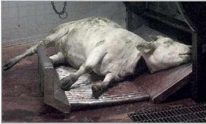 Abattage-halal-e-coli