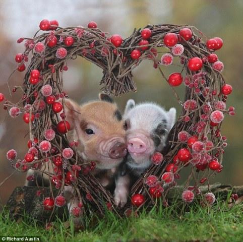 Valentin-piglets